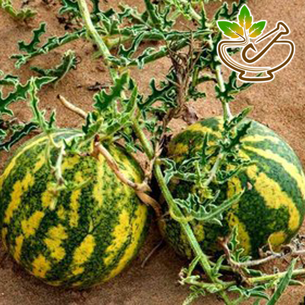 Indrayan Seeds Oil ( Citrullus Colocynthis )